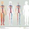 heart-circulatory-system-12065050.jpg